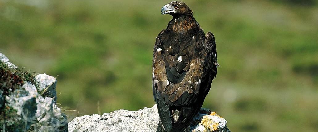 Águila real / Arrano Beltza